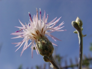 centaurea-huljakii2