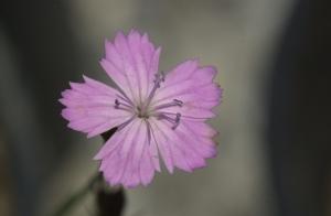 dianthus-gracilis-subsp-drenowskianus-021914