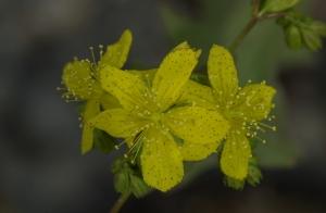 Hypericum rumeliacum subsp. rumeliacum