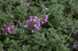 thymus-thracicus