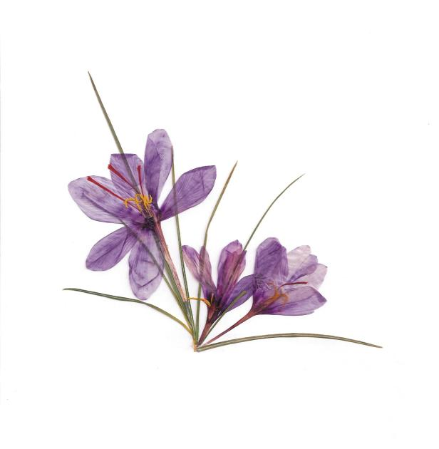 10-cebfcebacf84cf8eceb2cf81ceb9cebfcf82-cebacf81cf8ccebacebfcf82-crocus-sativus